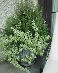 Rosemary and licorice